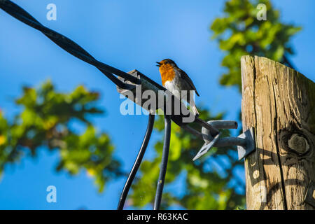 European robin (Erithacus rubecula), sitting on electric pole and singing. - Stock Photo