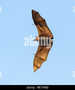 Spectacled flying fox or Spectacled Fruit Bat (Pteropus conspicillatus), is a megabat that lives in Queensland, Australia - Stock Photo