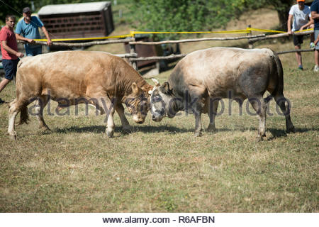 Bull Fight In Bosnia - Stock Photo