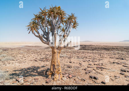 quiver tree or kokerboom, Aloidendron dichotomum, near C14 road, Namibia - Stock Photo