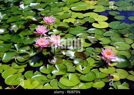 Pink water lilies at the gardens in Colonial Park, central New Jersey - Stock Photo