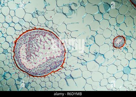 fern plant under the microscope - Stock Photo