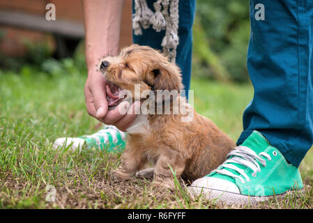 Little, funny, screaming, sleepy cute brown puppy playing outdoors with owner, obediently sitting and yawns. Happy dog in the park or garden. Concept - Stock Photo