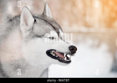 Grinning gray dog showing teeth closeup side portrait winter outdoor blur background - Stock Photo
