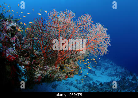 soft cora (Siphonogorgia sp.) Indian Ocean, Maldives - Stock Photo