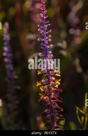 Mutabilis Cape Cowslip, Lachenalia mutabilis, in flower, backlit, near Clanwilliam,  Western Cape, South Africa. - Stock Photo