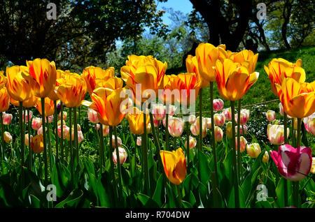 Tulips in the Brooklyn Botanic Garden in Spring - Stock Photo