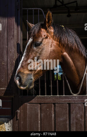 Head Shot of Brown Horse looking Over the Stable Door - Stock Photo