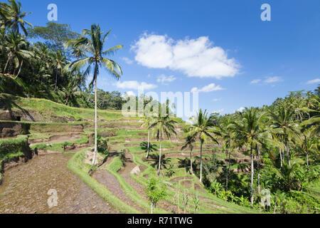 Rice terraces near Tegallalang, Bali, Indonesia - Stock Photo