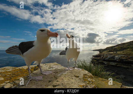 Saunders Island, Falkland Islands, United Kingdom, South America, Black-browed Albatross, pair, (Thalassarche melanophris) - Stock Photo