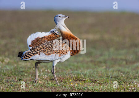 Great bustard m, Spain, (Otis tarda) - Stock Photo