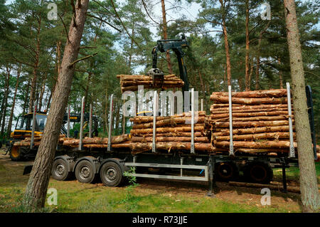 forestry, forwarder, trailer, pine trunks, (Pinus sylvestris), pine forest, forest technology, forest machinery, Sarenseck, Lower Saxony, Germany - Stock Photo