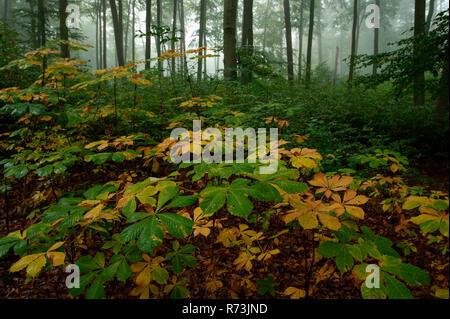chestnut trees, (Aesculus hippocastanum), young trees, Neuehuette, biosphere reserve Schorfheide-Chorin, Brandenburg, Germany, Neuehütte - Stock Photo