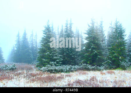 Forest with fir-trees after first snow in year. Gloomy fir wood - Stock Photo