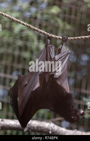 Black giant fruit bat, hanging from a rope full body view eating fruit - Stock Photo