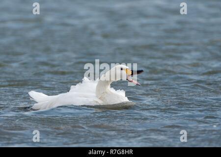 Bewick's swan (Cygnus columbianus bewicki) calling after bathing in a freshwater lake, Gloucestershire, UK, February. - Stock Photo