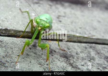 pregnant praying mantis in my garden - Stock Photo
