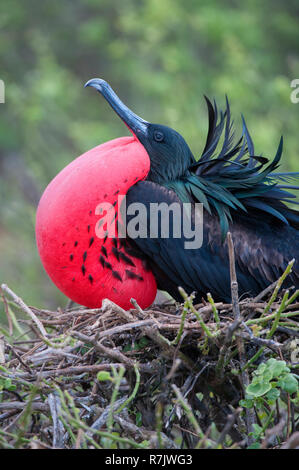 Great Frigatebird (Fregata minor), male, Genovesa Island, Galápagos Islands, Ecuador - Stock Photo