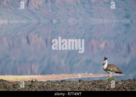 Kenya, Magadi lake, Kori bustard (Ardeotis kori), male moving along the water - Stock Photo