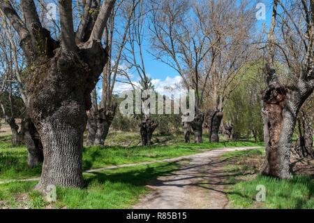 Ash grove next to the river Manzanares, in El Pardo, Madrid, Spain. - Stock Photo