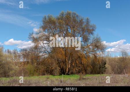 Narrow-leafed ash tree, Fraxinus angustifolia, next to the river Manzanares, in El Pardo, Madrid, Spain - Stock Photo
