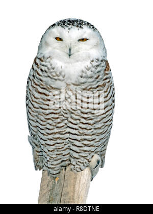 Close up of Snowy Owl portrait sitting on post, against white background. ( Nyctea scandiaca ) - Stock Photo