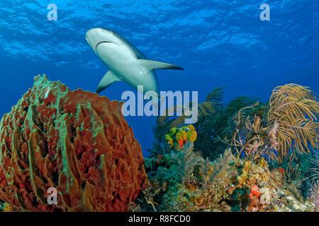 Caribbean Reef Shark (Carcharhinus perezi) swimming over a colourful coral reef, Grand Bahama, Bahamas - Stock Photo
