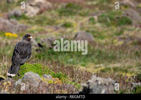 United Kingdom, Falkland Islands, West Falklands, Jason Islands, Steeple Jason. Striated caracara (Phalcoboenus australis) aka Johnny rook. - Stock Photo