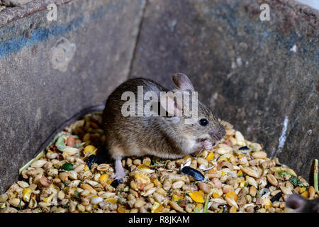 Cheeky Mice eating the chickens grain - Stock Photo