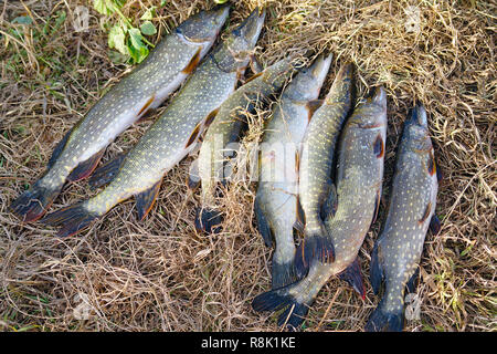 Pike on the dry grass. Esox Lucius - Stock Photo