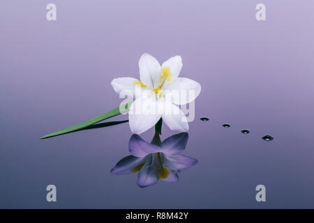 One Freesia reflected in plain background - Stock Photo
