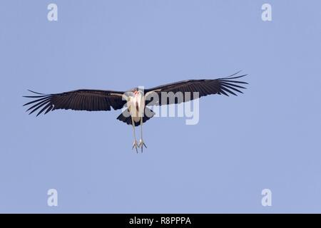 Ethiopia, Rift Valley, Ziway lake, Marabou stork (Leptoptilos crumenifer), in flight - Stock Photo