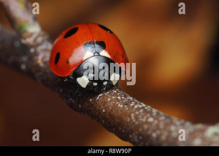 7-spot Ladybird (Coccinella septempunctata) perched on birch tree branch in December. Tipperary, Ireland - Stock Photo
