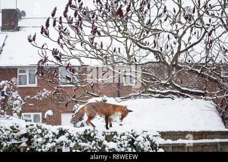 Red Fox, Vulpes vulpes, in winter snow standing on garden shed roof, London, United Kingdom - Stock Photo