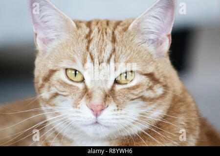 Close up image of a female ginger cat face - Stock Photo