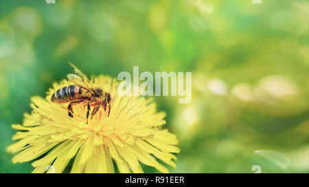 A honey bee in yellow pollen collects nectar from a dandelion flower on a sunny spring day. Spring time. Copy space. - Stock Photo