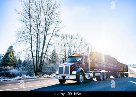 Big rig American bonnet dark brown day cab semi truck with two semi trailers transporting a bunch of logs on the cold winter road with snow frosty tre - Stock Photo