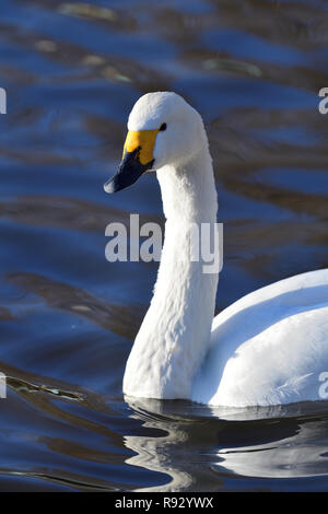 Portrait of a Tundra swan (cygnus columbianus) swimming in  the water - Stock Photo
