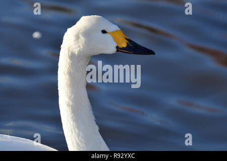 Head shot of a Tundra swan (cygnus columbianus) in the water - Stock Photo