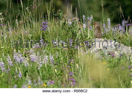 Columbian Ground Squirrel (Spermophilus columbianus), Heavens Gate Overlook, Nez Perce National Forest, Idaho, USA - Stock Photo