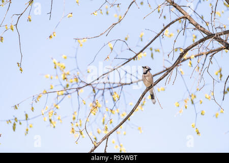 One blue jay bird sitting, perched on top of branch fo sakura, cherry blossom tree, flowers in Washington, DC, signing isolated against blue sky - Stock Photo