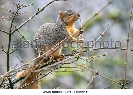 Eastern fox squirrel (Sciurus niger) feeding on tree buds, Hendricks Park, Eugene, Oregon, USA - Stock Photo