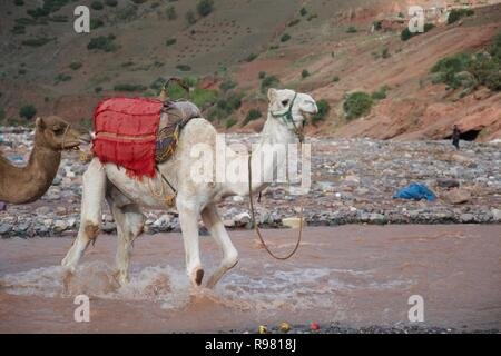 A camel, wearing a harness and at the front of a caravan, splashes through a fast flowing stream in Morocco - Stock Photo