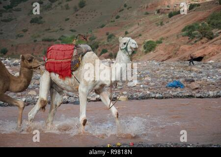 A camel, with another camel tied behind it, splashes through a river in Morocco - Stock Photo