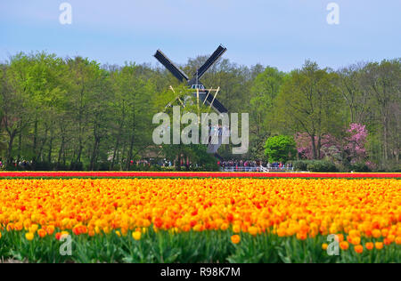 Field of yellow tulips outside the famous Keukenhof Gardens looking towards the windmill inside the gardens Lisse, Holland, The Netherlands - Stock Photo