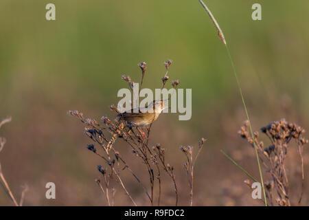 Grasshopper Warbler; Locustella naevia Single Singing Hungary - Stock Photo