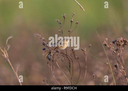 Grasshopper Warbler; Locustella naevia Hungary - Stock Photo