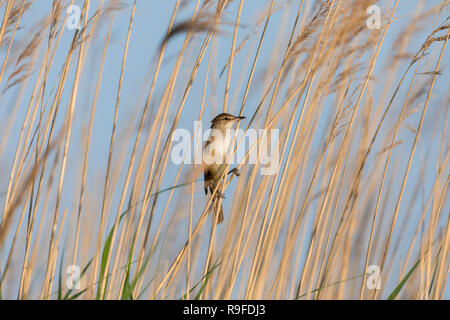 Great Reed Warbler; Acrocephalus arundinaceus Hungary - Stock Photo