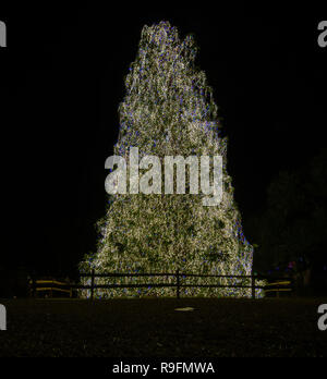80 foot tall Christmas Tree in Brookgreen Gardens decorated with 130,000 lights. - Stock Photo