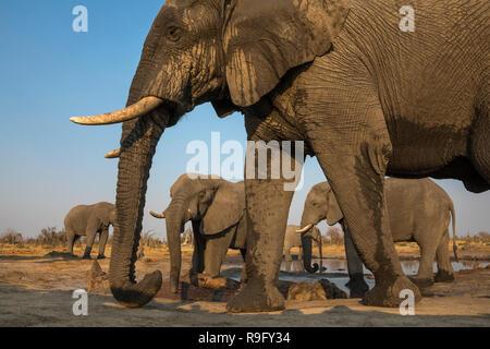 African elephant bulls (Loxodonta africana) at waterhole, Khwai conservancy, Botswana, - Stock Photo